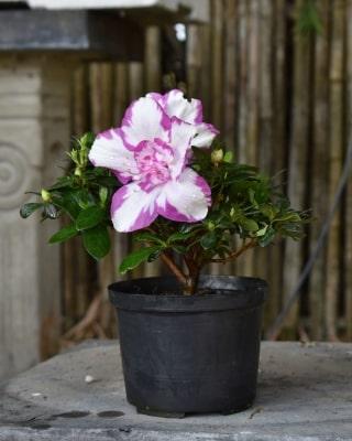 Biflora - Viola biora - Planta de Exterior