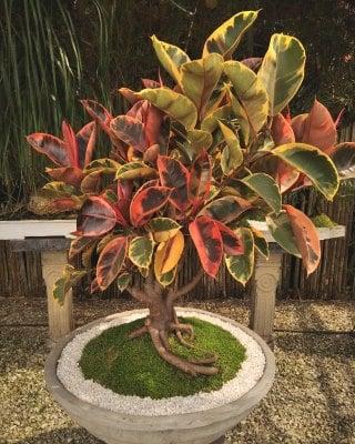 Bonsái Ficus Elástica Ruby