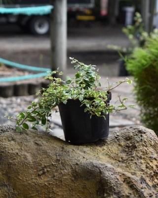 Ficus Rastrero