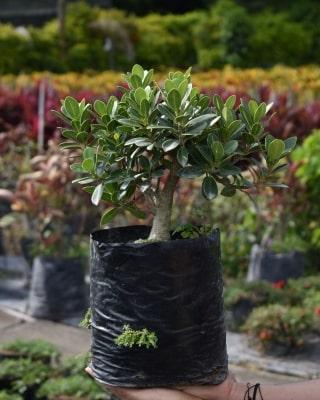 Ficus exótico