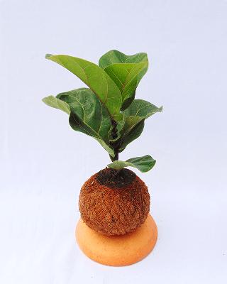 Ficus lyrata en kokedama