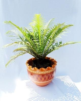 Helecho palma