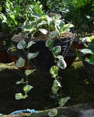 Miami variegado en canasta