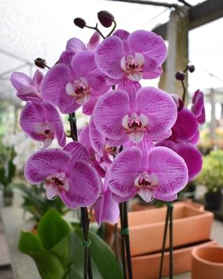 Orquidea phalaepnosis