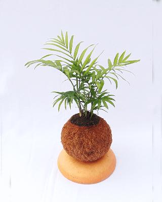 Palma robeline en kokedama