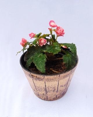 Begonia de flor