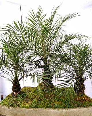 Bonsái bosque palma robeline