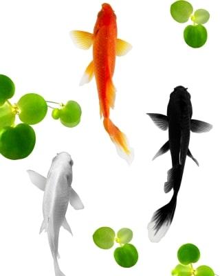 venta de peces ornamentales